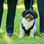 Brocade Dog Vest